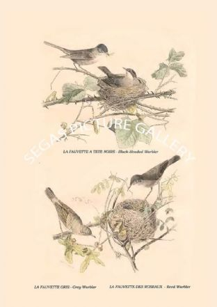Black-Headed Warbler, Grey Warbler, Reed Warbler